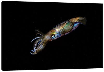 A Bigfin Reef Squid Off The Coast Of Komodo Island In Komodo National Park II Canvas Art Print