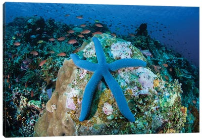 A Blue Starfish Clings To A Coral Reef In Indonesia Canvas Art Print