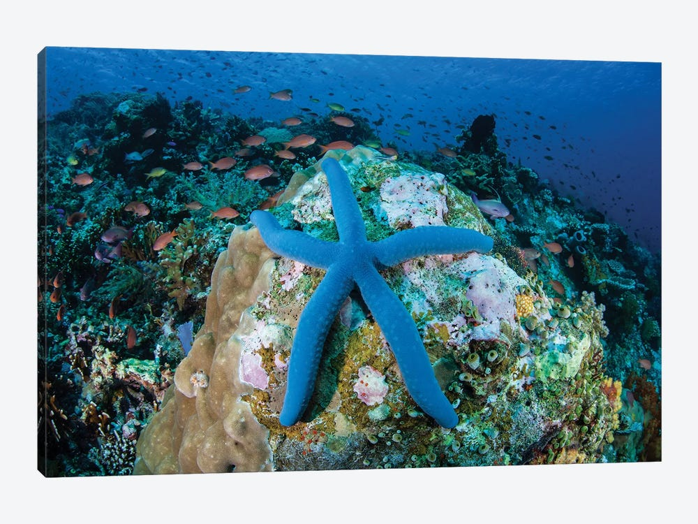 A Blue Starfish Clings To A Coral Reef In Indonesia by Ethan Daniels 1-piece Canvas Wall Art