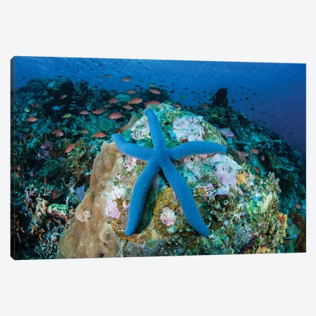 A Blue Starfish Clings To A Coral Reef In Indonesia Canvas Print #TRK2010} by Ethan Daniels Canvas Print