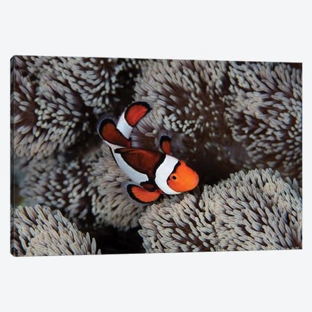 A Clownfish Swims Among The Tentacles Of Its Host Anemone In Indonesia Canvas Print #TRK2011} by Ethan Daniels Art Print