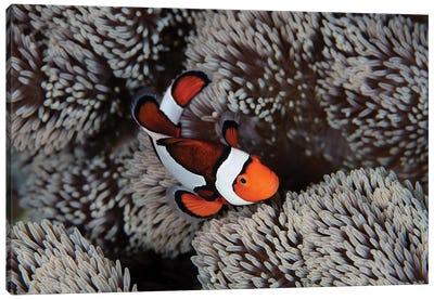 A Clownfish Swims Among The Tentacles Of Its Host Anemone In Indonesia Canvas Art Print