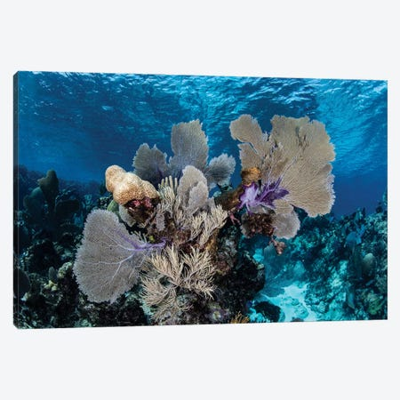 A Colorful Set Of Gorgonians On A Diverse Reef In The Caribbean Sea I Canvas Print #TRK2012} by Ethan Daniels Canvas Art Print