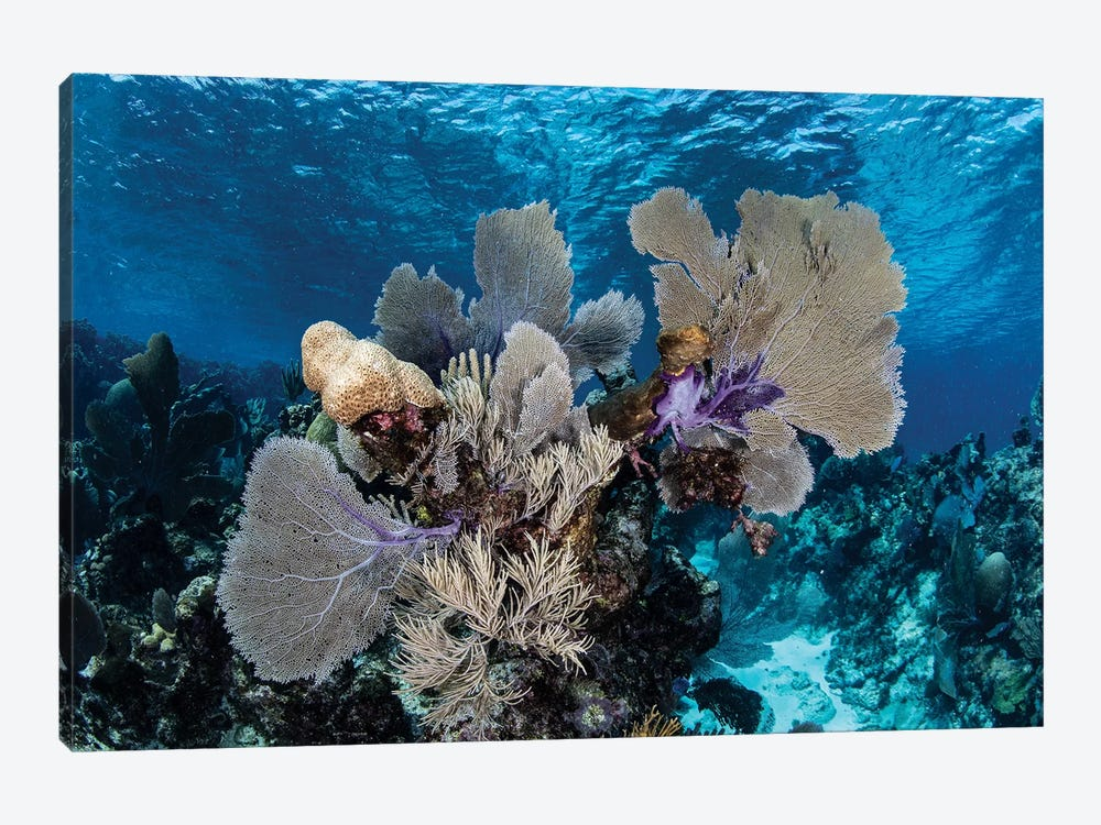 A Colorful Set Of Gorgonians On A Diverse Reef In The Caribbean Sea I by Ethan Daniels 1-piece Canvas Art
