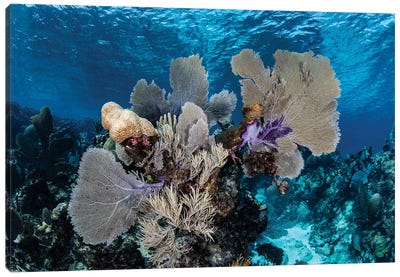 A Colorful Set Of Gorgonians On A Diverse Reef In The Caribbean Sea I Canvas Art Print