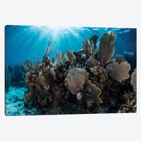 A Colorful Set Of Gorgonians On A Diverse Reef In The Caribbean Sea II Canvas Print #TRK2013} by Ethan Daniels Canvas Print
