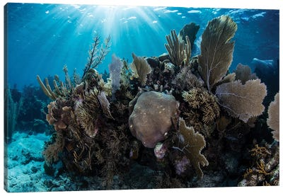 A Colorful Set Of Gorgonians On A Diverse Reef In The Caribbean Sea II Canvas Art Print