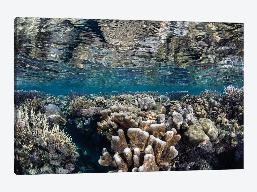 A Diverse Coral Reef Grows In Shallow Water In The Solomon Islands I by Ethan Daniels 1-piece Canvas Art Print