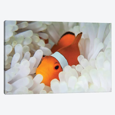 A False Clownfish Snuggles Amongst Its Host's Tentacles On A Reef Canvas Print #TRK2022} by Ethan Daniels Canvas Artwork