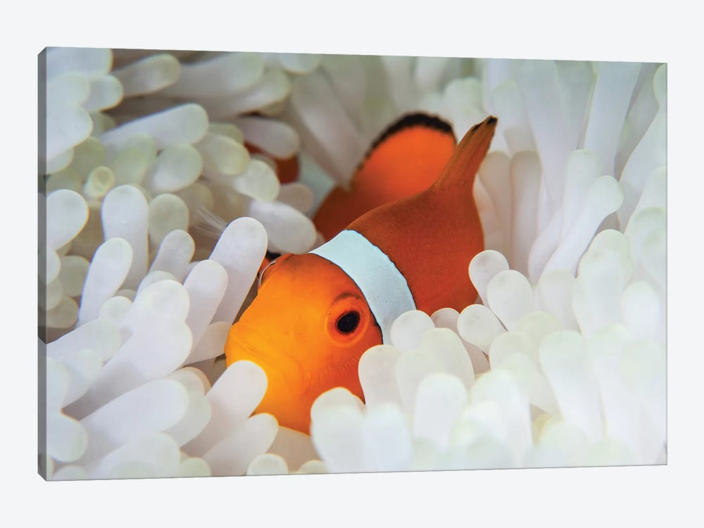A False Clownfish Snuggles Amongst Its Host's Tentacles On A Reef by Ethan Daniels 1-piece Canvas Print