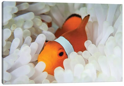 A False Clownfish Snuggles Amongst Its Host's Tentacles On A Reef Canvas Art Print
