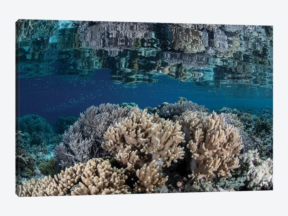 A Healthy Coral Reef Grows In The Solomon Islands II by Ethan Daniels 1-piece Canvas Artwork