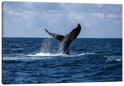 A Humpback Whale Slaps Its Tail On The Surface Of The Atlantic Ocean Canvas Art Print