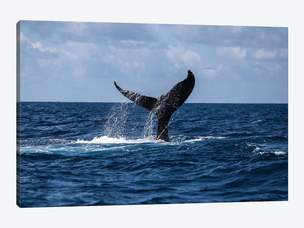 A Humpback Whale Slaps Its Tail On The Surface Of The Atlantic Ocean by Ethan Daniels 1-piece Canvas Art