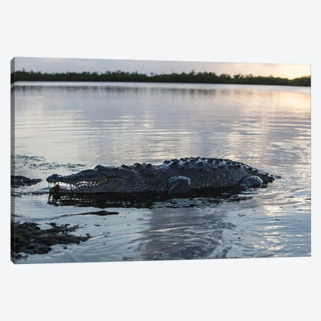 A Large American Crocodile Surfaces In Turneffe Atoll, Belize Canvas Print #TRK2030} by Ethan Daniels Canvas Art Print