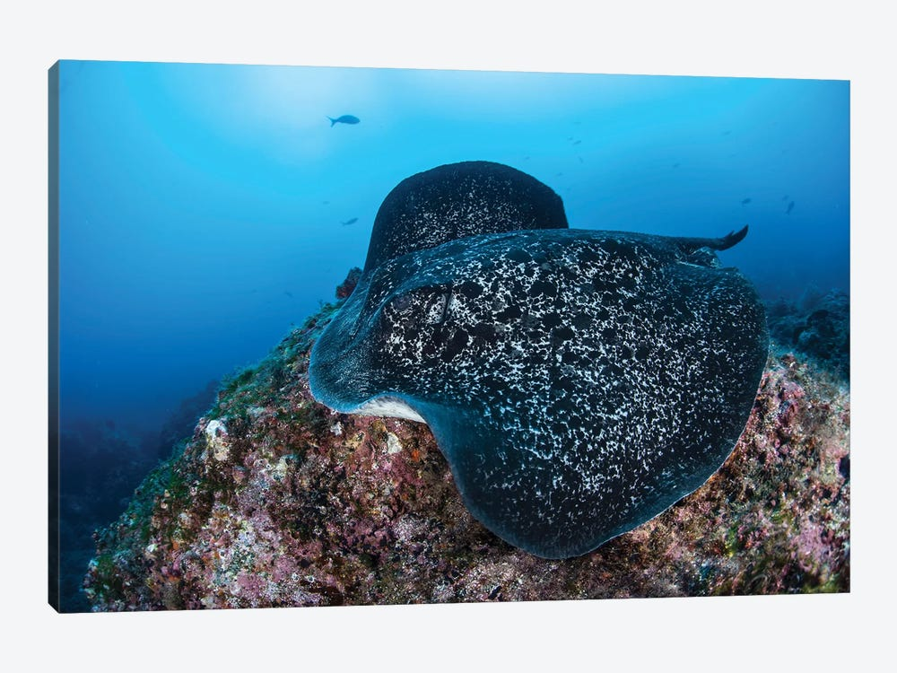 A Large Black-Blotched Stingray Swims Over The Rocky Seafloor by Ethan Daniels 1-piece Canvas Artwork