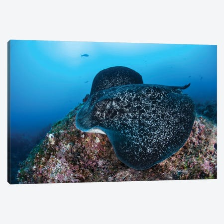 A Large Black-Blotched Stingray Swims Over The Rocky Seafloor Canvas Print #TRK2032} by Ethan Daniels Canvas Art Print