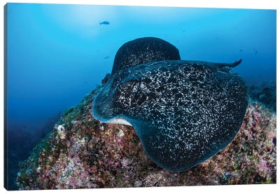 A Large Black-Blotched Stingray Swims Over The Rocky Seafloor Canvas Art Print