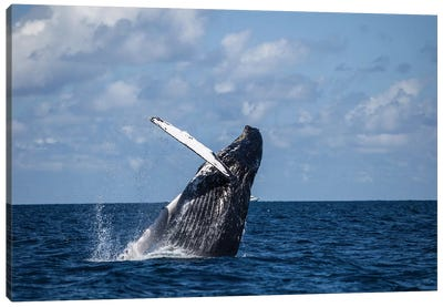 A Large Humpback Whale Breaches Out Of The Atlantic Ocean Canvas Art Print
