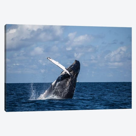 A Large Humpback Whale Breaches Out Of The Atlantic Ocean Canvas Print #TRK2033} by Ethan Daniels Art Print