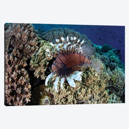 A Lionfish Swims Along The Edge Of A Reef In Wakatobi National Park, Indonesia Canvas Print #TRK2034} by Ethan Daniels Canvas Wall Art
