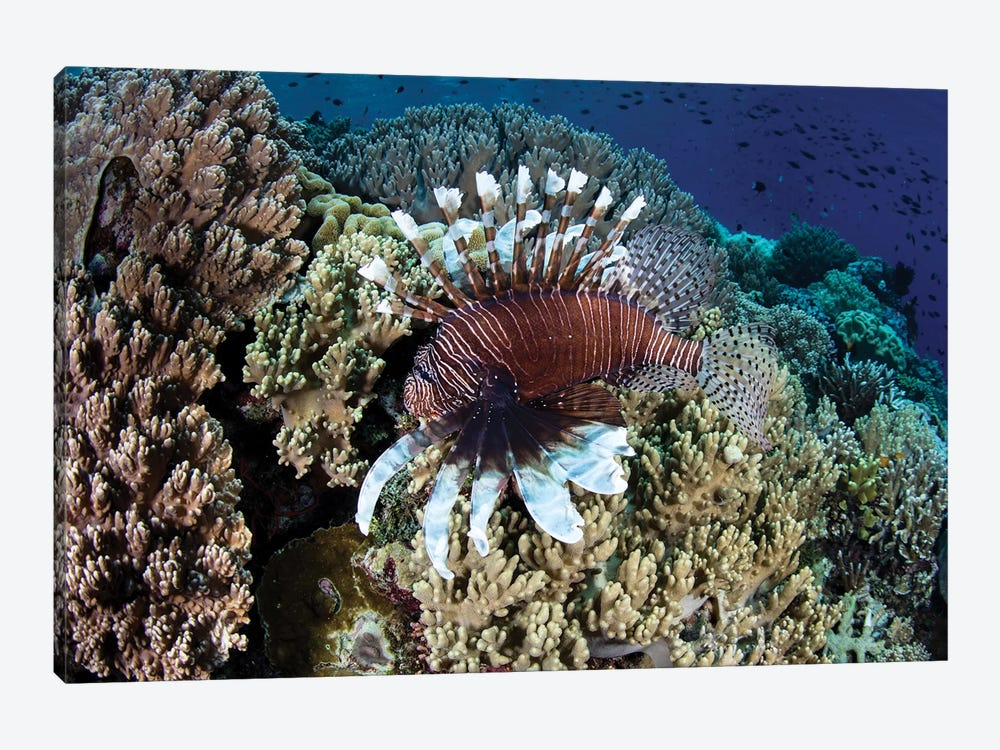 A Lionfish Swims Along The Edge Of A Reef In Wakatobi National Park, Indonesia by Ethan Daniels 1-piece Canvas Artwork