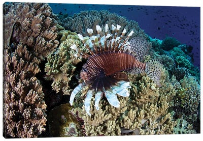 A Lionfish Swims Along The Edge Of A Reef In Wakatobi National Park, Indonesia Canvas Art Print