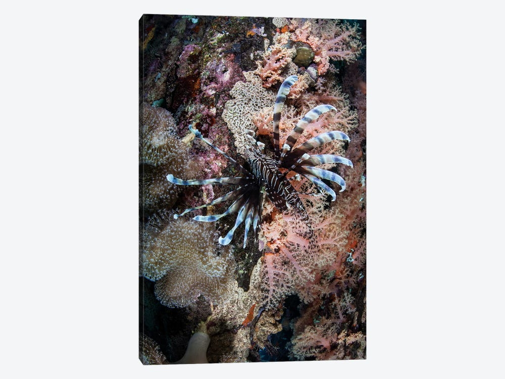 A Lionfish Swims On A Colorful Reef In The Solomon Islands by Ethan Daniels 1-piece Art Print