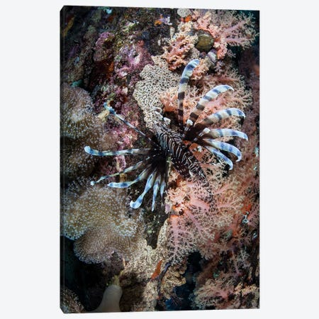 A Lionfish Swims On A Colorful Reef In The Solomon Islands Canvas Print #TRK2035} by Ethan Daniels Canvas Artwork