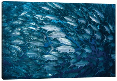 A Massive School Of Bigeye Trevally Near Cocos Island, Costa Rica Canvas Art Print