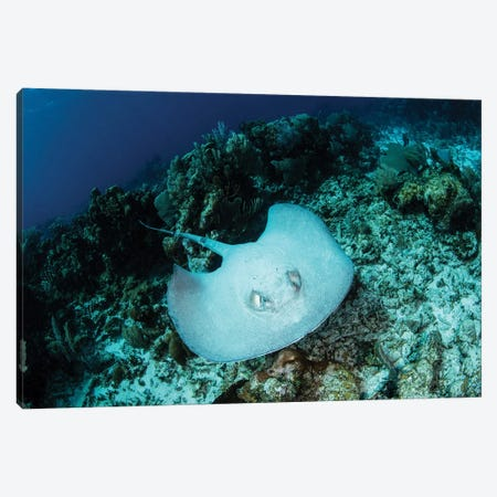 A Roughtail Stingray Swims Over The Seafloor Near Turneffe Atoll Canvas Print #TRK2038} by Ethan Daniels Art Print