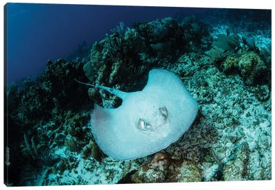 A Roughtail Stingray Swims Over The Seafloor Near Turneffe Atoll Canvas Art Print