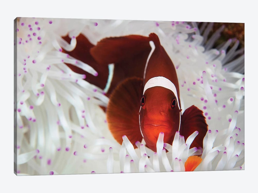 A Spine-Cheeked Anemonefish Swims Among The Tentacles Of Its Host Anemone by Ethan Daniels 1-piece Canvas Artwork