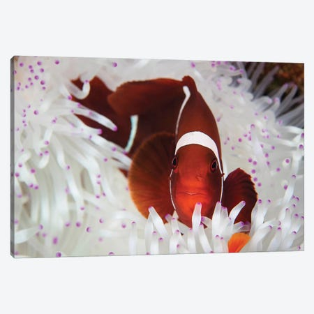A Spine-Cheeked Anemonefish Swims Among The Tentacles Of Its Host Anemone Canvas Print #TRK2041} by Ethan Daniels Canvas Artwork
