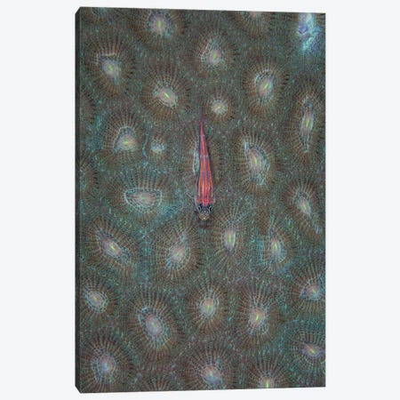 A Tiny Ghost Goby Lies On The Polyps Of A Coral Colony Canvas Print #TRK2043} by Ethan Daniels Canvas Wall Art