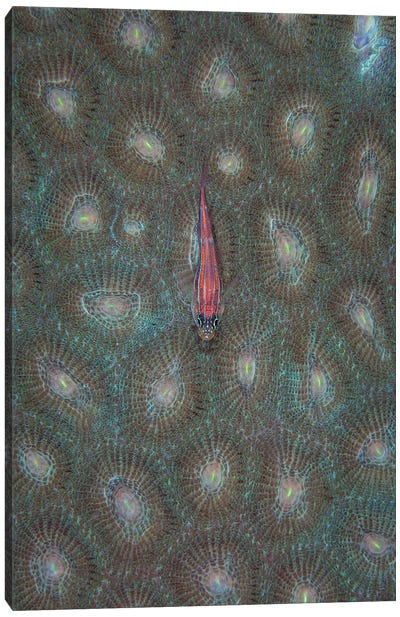 A Tiny Ghost Goby Lies On The Polyps Of A Coral Colony Canvas Art Print