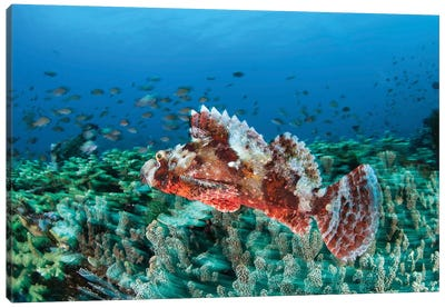 A Venomous Scorpionfish On A Coral Reef In Komodo National Park, Indonesia Canvas Art Print