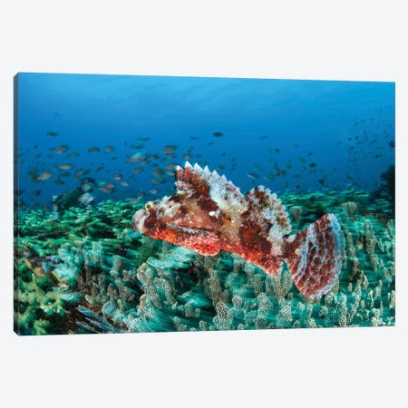 A Venomous Scorpionfish On A Coral Reef In Komodo National Park, Indonesia Canvas Print #TRK2044} by Ethan Daniels Art Print