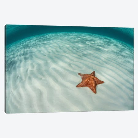 A West Indian Starfish On The Seafloor In Turneffe Atoll, Belize Canvas Print #TRK2046} by Ethan Daniels Canvas Print
