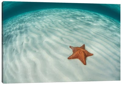A West Indian Starfish On The Seafloor In Turneffe Atoll, Belize Canvas Art Print