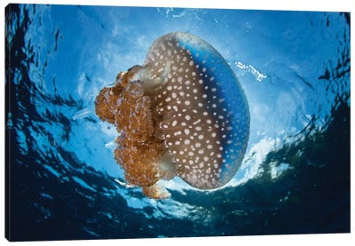 A White-Spotted Jellyfish Drifts In A Strong Current In The Lesser Sunda Islands Canvas Art Print