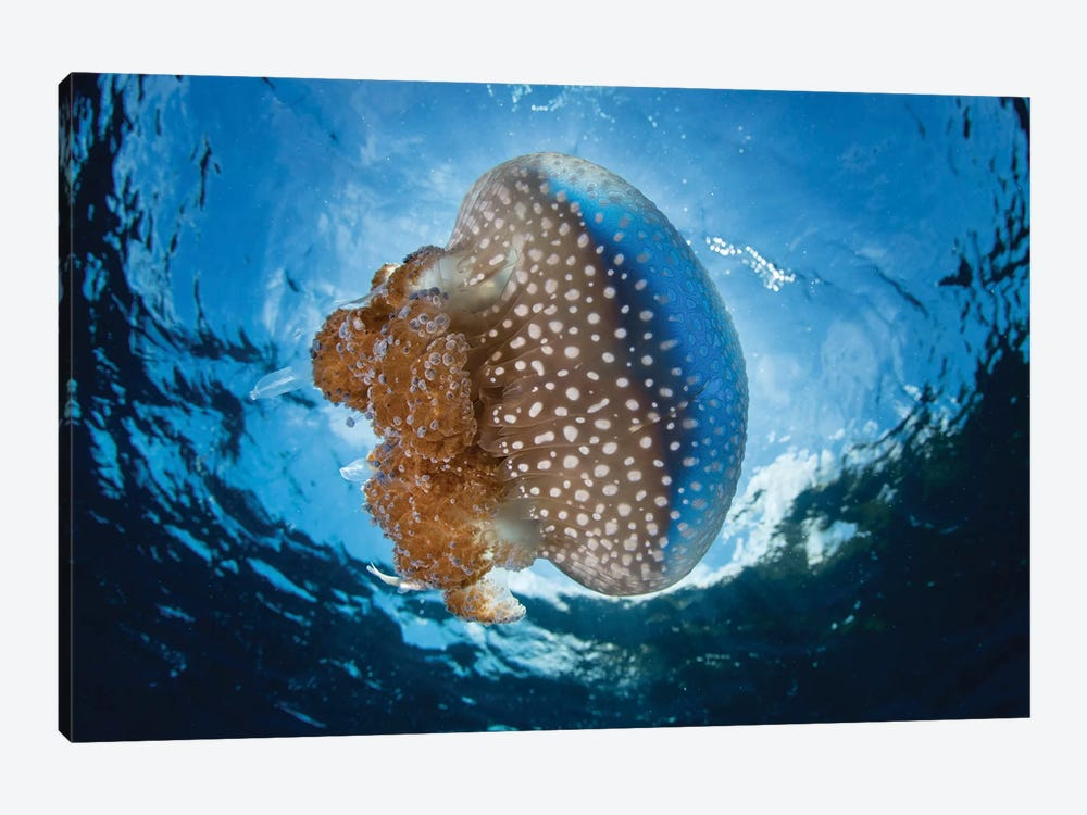 A White-Spotted Jellyfish Drifts In A Strong Current In The Lesser Sunda Islands by Ethan Daniels 1-piece Canvas Art