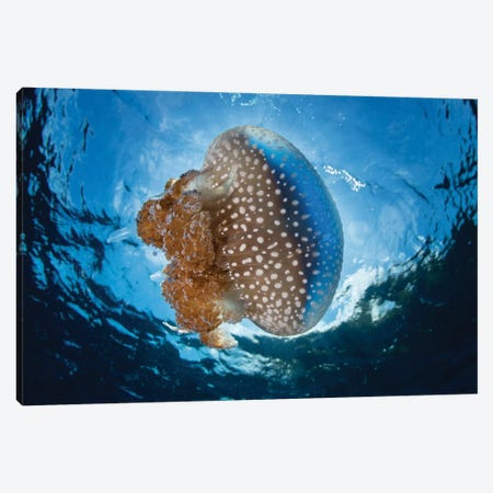 A White-Spotted Jellyfish Drifts In A Strong Current In The Lesser Sunda Islands Canvas Print #TRK2047} by Ethan Daniels Art Print