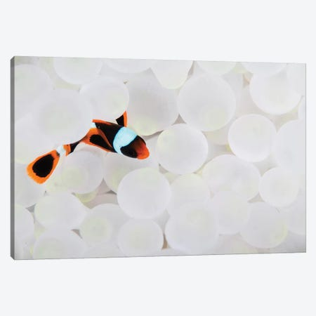 A Young False Clownfish Snuggles Into Its Host Anemone Canvas Print #TRK2048} by Ethan Daniels Canvas Art