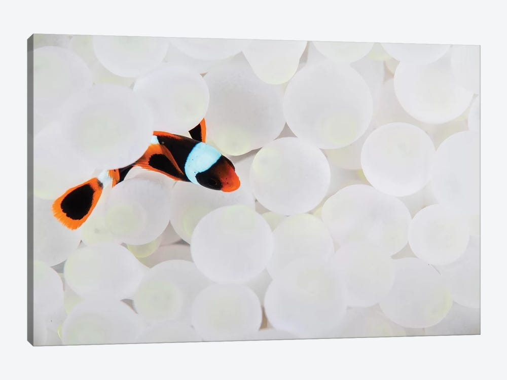 A Young False Clownfish Snuggles Into Its Host Anemone by Ethan Daniels 1-piece Canvas Print