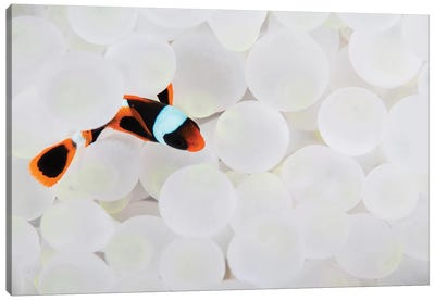 A Young False Clownfish Snuggles Into Its Host Anemone Canvas Art Print