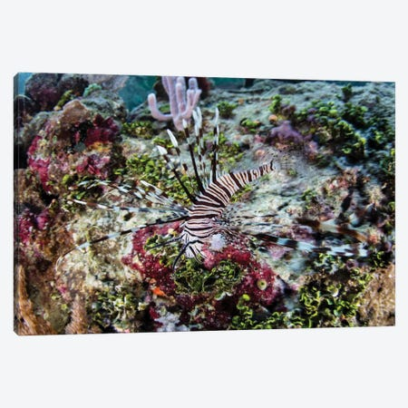 A Young Lionfish (Pterois Volitans) Swims On A Colorful Reef In Raja Ampat, Indonesia Canvas Print #TRK2049} by Ethan Daniels Canvas Wall Art