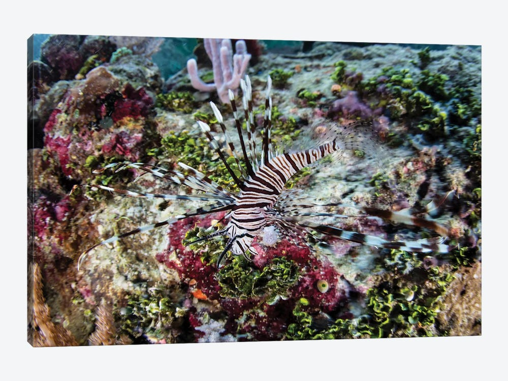 A Young Lionfish (Pterois Volitans) Swims On A Colorful Reef In Raja Ampat, Indonesia by Ethan Daniels 1-piece Canvas Artwork