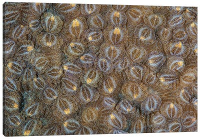 Acoel Flatworms Cover A Coral Colony On A Reef In Raja Ampat, Indonesia Canvas Art Print