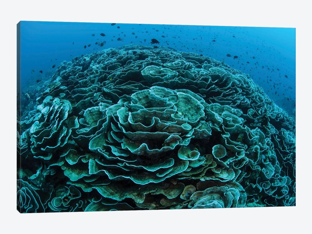 Corals Are Beginning To Bleach On A Reef In Indonesia I by Ethan Daniels 1-piece Canvas Art